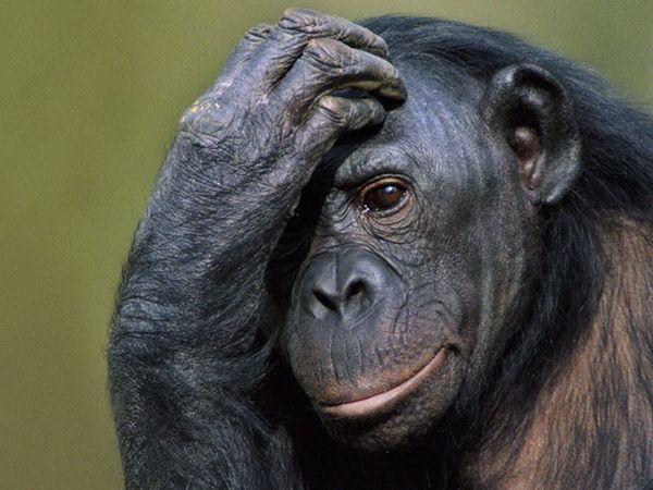 Приматки, б/у Объявление, Приматы, Продажа