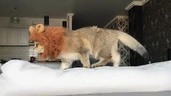 Комнатный лев :D