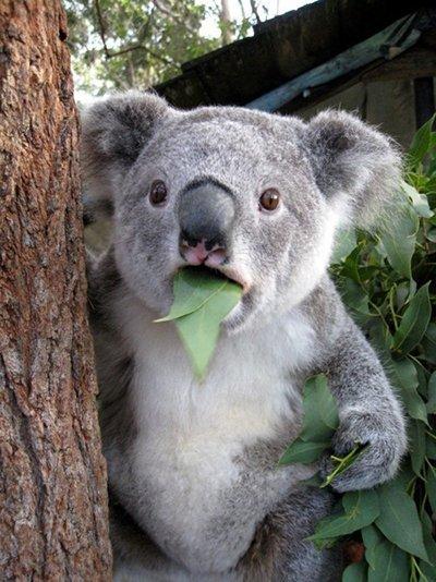 Коала как коала... Коала, Кот