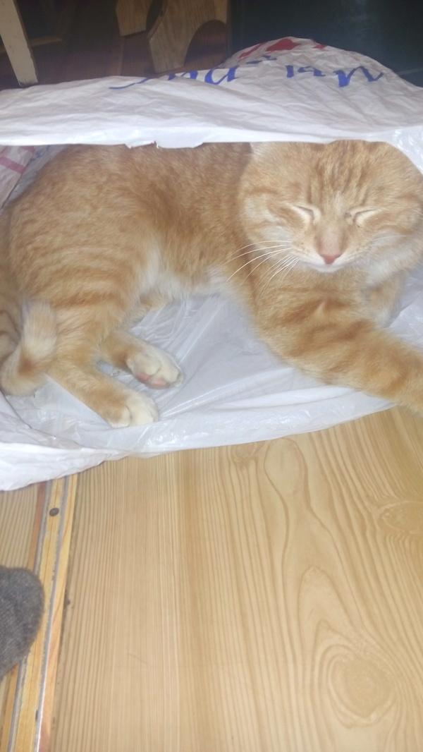 Рыжий кот Кот, Пакет, Животные, Длиннопост