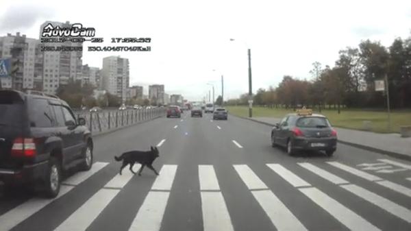 Эволюция эволюция, Собака, кот, пдд