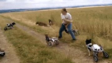 Жизнерадостные четвероногие колясочники собака, апорт, поле, паралич, домашние животные, гифка, видео