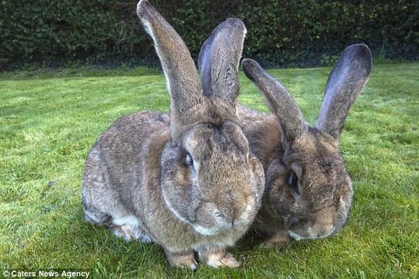 Джефф, сын самого большого кролика в мире кролики, сын, самый, огромный, рекорд, Животные