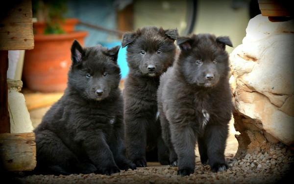 Потому что мы банда:) Грюнендаль, щенки, бельгийская овчарка, Собака, милота, одесса, породистые собаки, породы собак, длиннопост