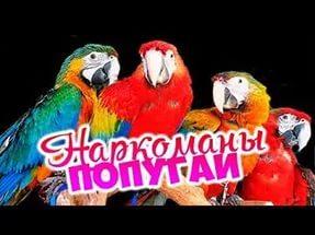 Индийские попугаи-наркоманы Попугай, Наркомания, Птицы, Мак