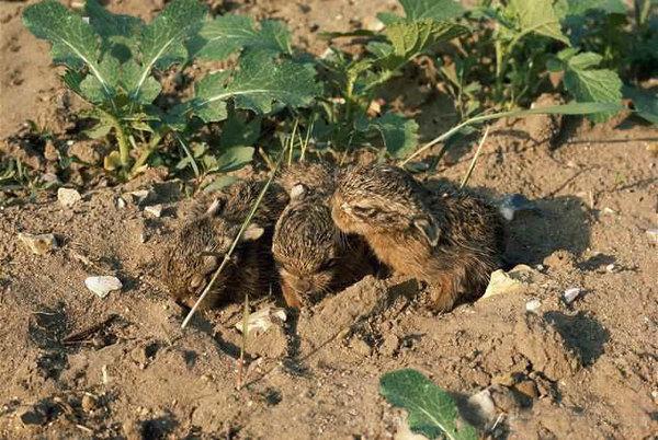 Нашли зайчат? Что делать? как выкормить зайчонка, заяц, содержание зайца, нашли зайчонка, подобрыш, дикий заяц, длиннопост
