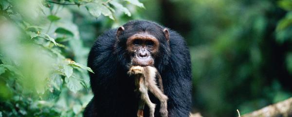 Самец обезьяны насилует женщину