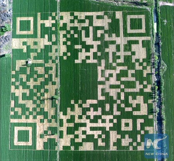 Китайский фермер вырастил овощи участками в форме своего QR-кода из WeChat и попал в книгу рекордов Гиннесcа.