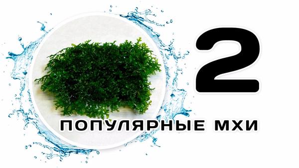 Популярные аквариумные мхи. Часть 2 Мох, Аквариумные мхи, Аквариумные растения, Аквариумистика, Скалярики, scalariki, видео, длиннопост