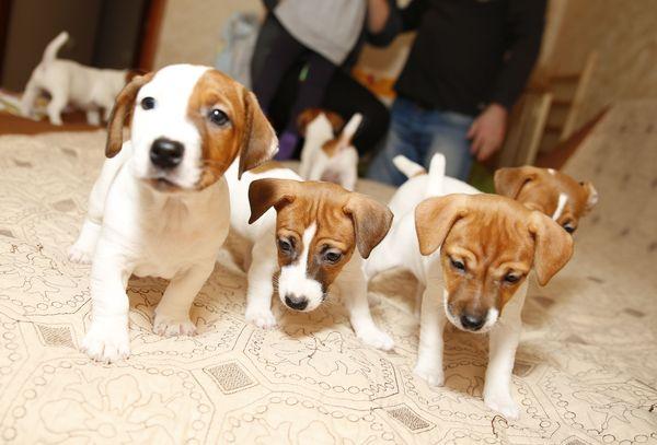 Джек Рассэл терьер Джек Рассэл терьер, Фотография, моё, щенки, Canon 5D, длиннопост