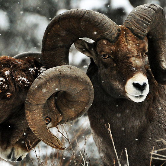 Тыг-дым тыгыдым пост. фотография, олень, бык, як, зубр, Баран, буйвол, Природа, длиннопост