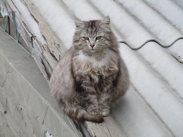 Котище кот, толстый, откормленный
