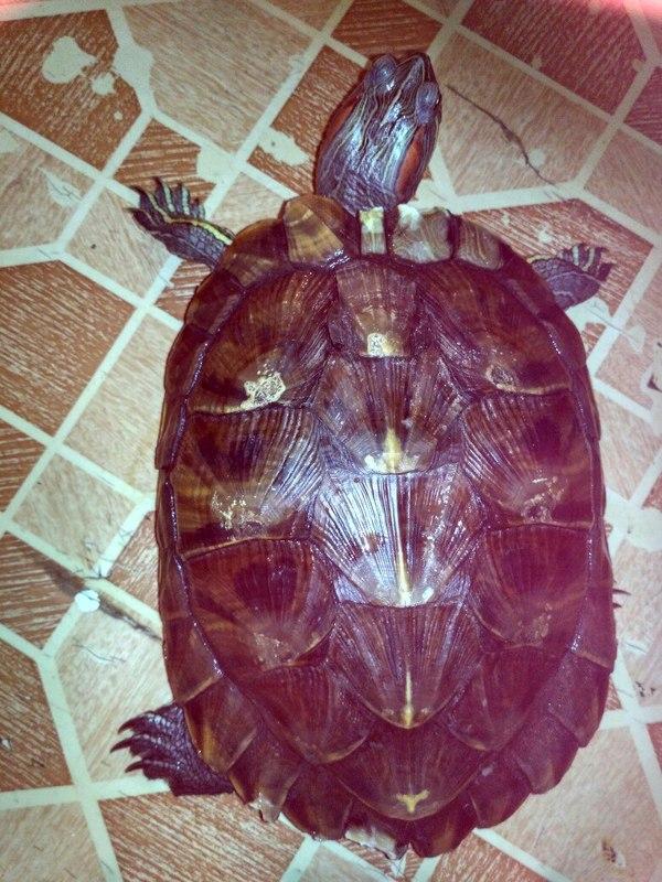 Что делать с красноухой черепахой? Москва Черепаха, Помощь, Зверюга адская, Где ж ее держали?, Москва