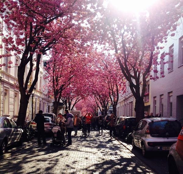 В старом городе Бонна расцвела вишня