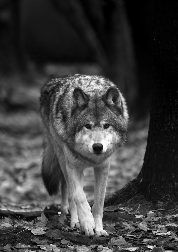 Воя в ночи длинноооопост. фотография, Стая, Волк, волчицы, Природа, длиннопост