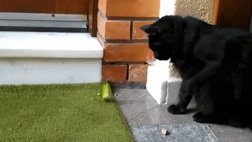 Богомол vs Кот