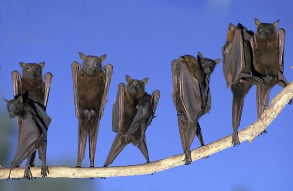 Машущий полёт, эхолокация, колонии с численностью в миллион особей. О рукокрылых летучая мышь, зоология, биология, Животные, Интересное, видео, длиннопост