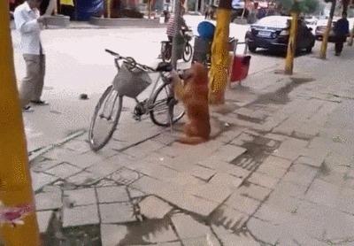 Собакен охраняет велосипед Собака, Гифка, Собака охраняка, Велосипед, Охрана
