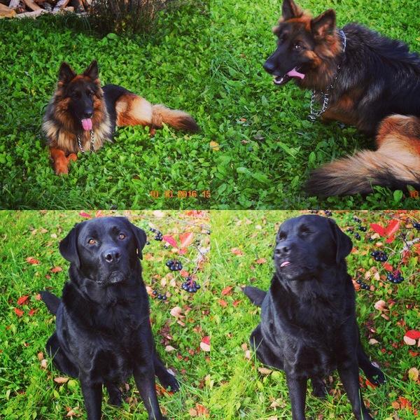 Собаки тоже любят подурачиться на камеру;) Моё, Служебные собаки, Лабрадор, Немецкая овчарка, German Shepherd, Наркомания