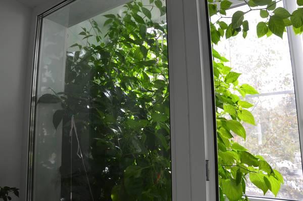 Выращивание острых перцев. Aftermath. Гидропоника, Перец, Острота, Длиннопост