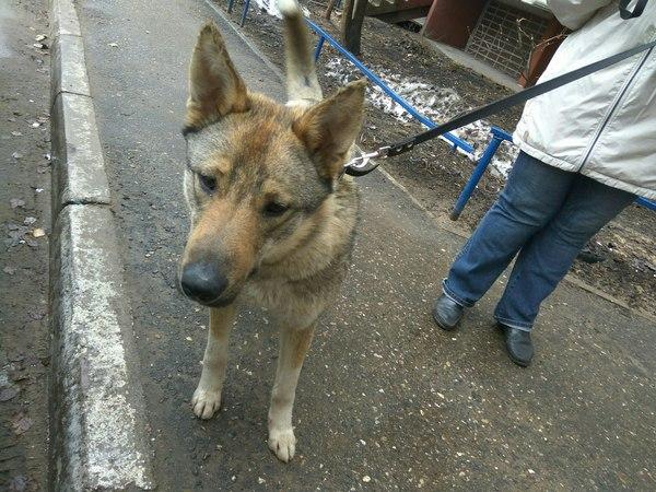 Помогите пристроить собаку!! Тверь и ТО Тверь, Ищу дом, Собака, В добрые руки