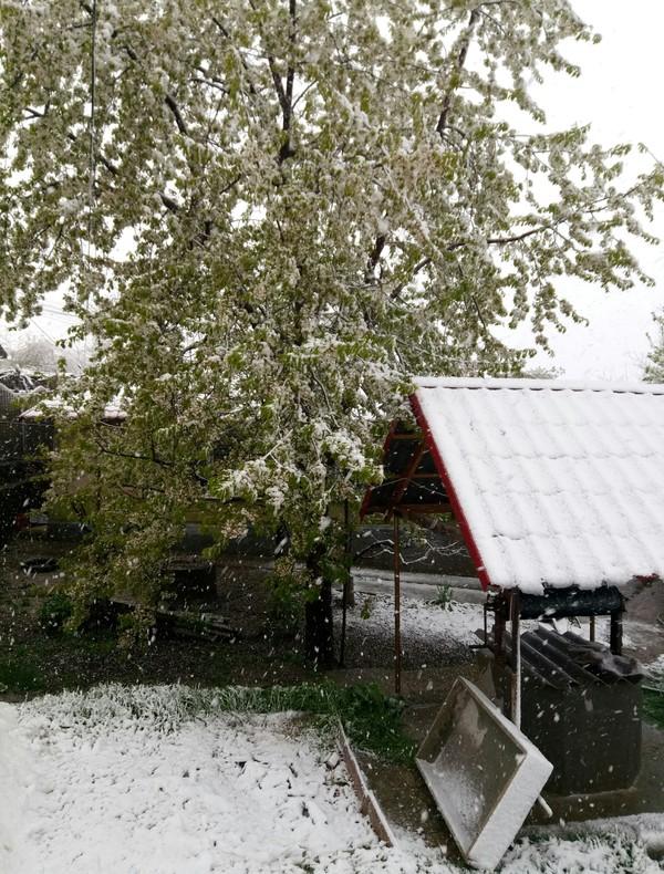 3.14здец моей черешне Снег, Черешня, Все плохо, Весна