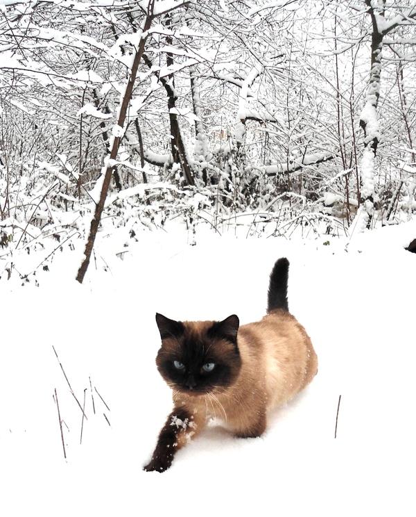 Снежный хищник