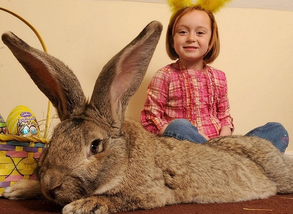 Кролики-великаны кролики, Великан, фотография, Длиннопост
