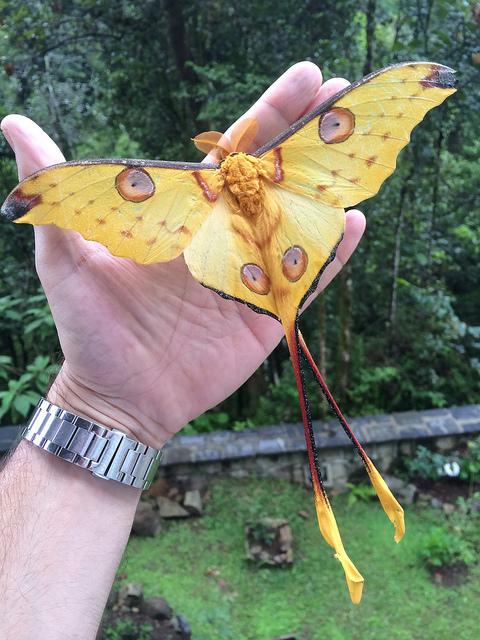 Самка Аргема Митреи накапливает весь необходимый запас пищи в стадии гусеницы, тк будучи взрослой, эта бабочка вовсе не питается бабочка, Интересное, мадагаскар, Насекомые, познавательно