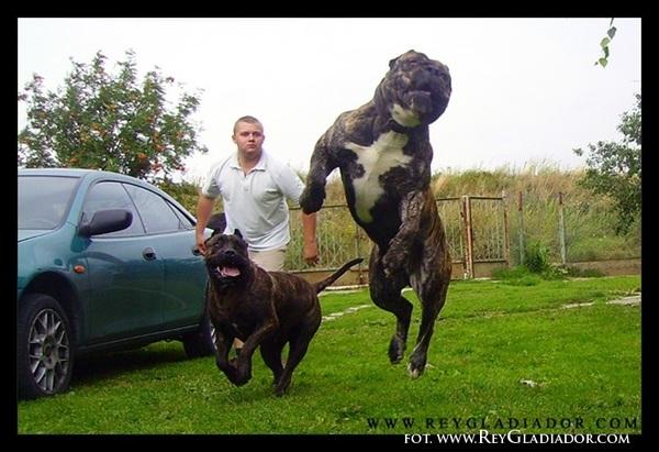 Яжемать - самоубийца яжмать, Собака, канарский дог, длиннопост