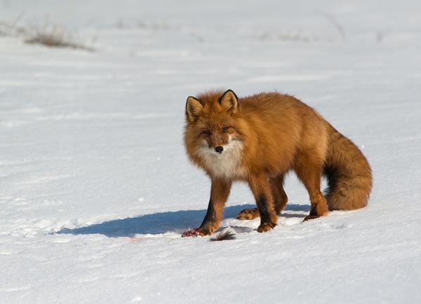 Чукотка просыпается Чукотка, лиса, белый медведь, весна, не мое, длиннопост