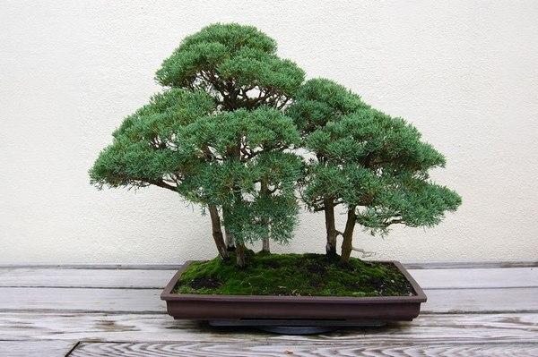 Лес - бонсай на столе. бонсай, Искусство, деревья, декор, увлечение, zanamiclub, длиннопост