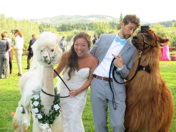 Свадебные ламы Лама, Альпака, Животные, свадьба, длиннопост, coub