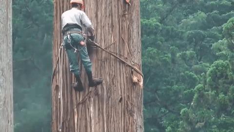 Как рубят самое большое дерево в мире Дерево, Бензопила, Япония, Лесопилка, Гифка, Видео