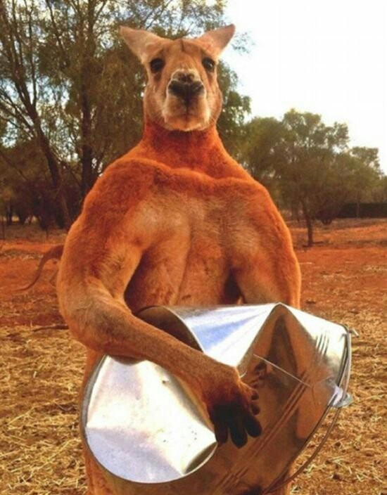 В Австралии установят памятник мускулистому кенгуру Роджеру Тру стори, Животные, Любовь к животным, Сила, Кенгуру