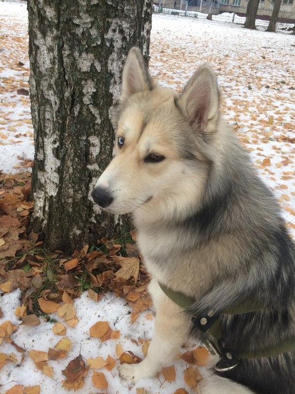 Потерялась собака! Нижнекамск, Хаски, Срочно, Собака, Пропала собака, Длиннопост