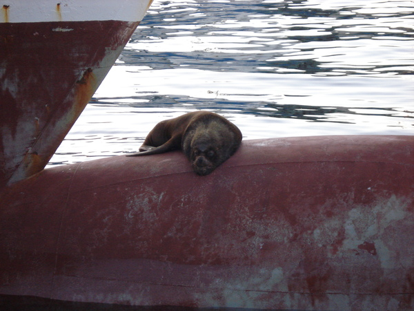 Котик вялется на бульбе морской котик, пароход