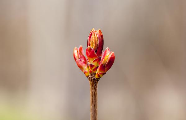 Новые краски весны Почки, листик, макро, Canon 5DM2, малина