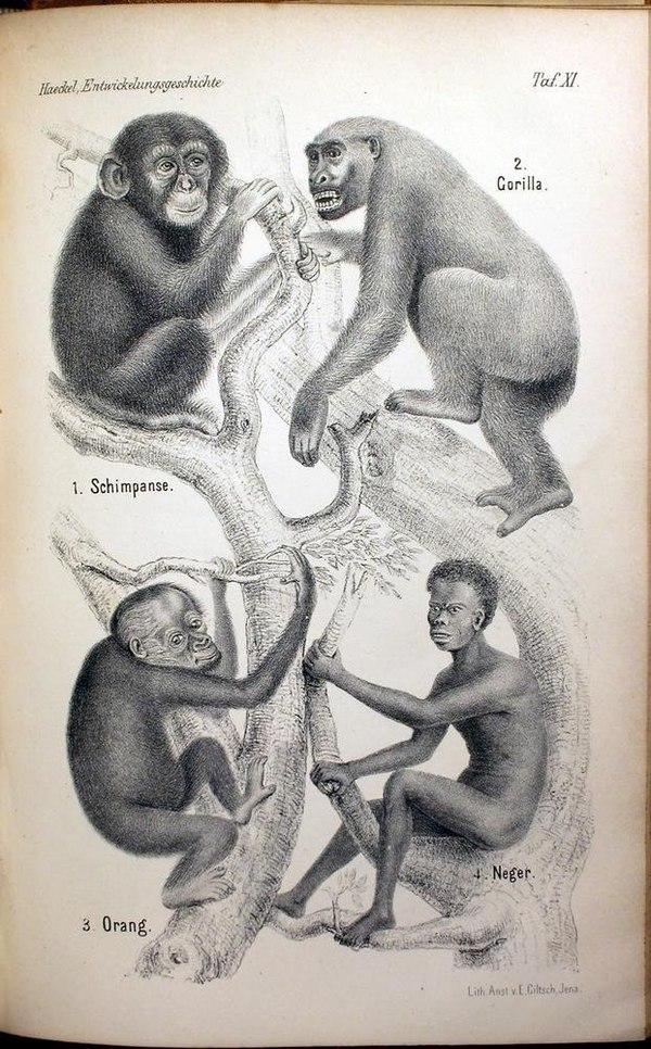 Иллюстрация Эрнста Геккеля к работе по антропогенезу, 1874 г