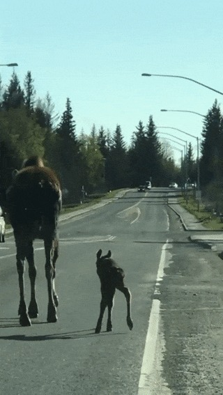 Мама с маленьким лосёнком на трассе :)
