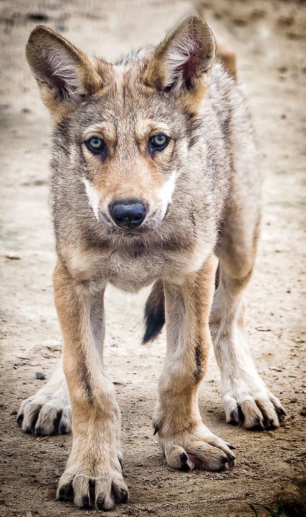 Какой маленький, а уже волк