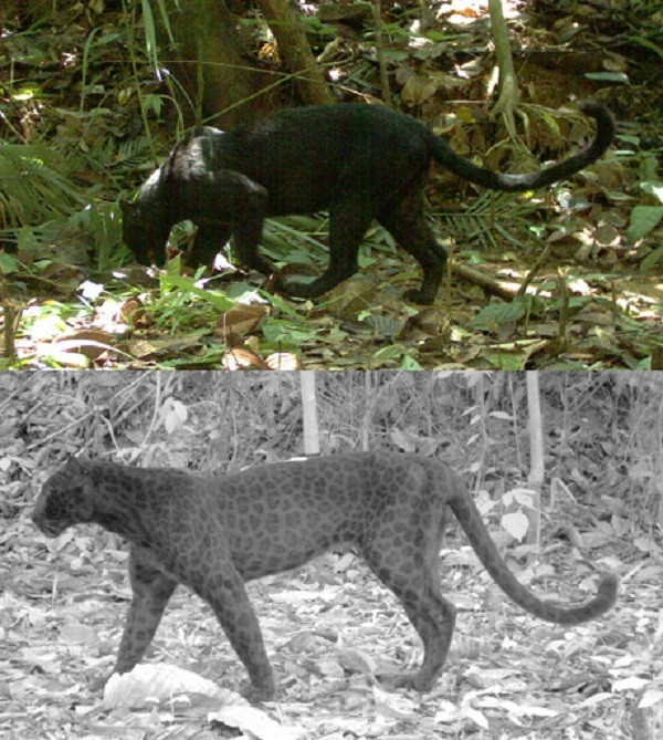 Окрас черных пантер (который на самом деле является проявлением меланизма у леопарда и ягуара) через инфракрасную камеру