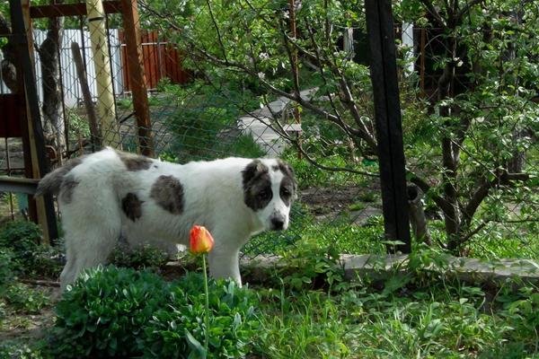 Забор мешает:) собака, Алабай, фотография