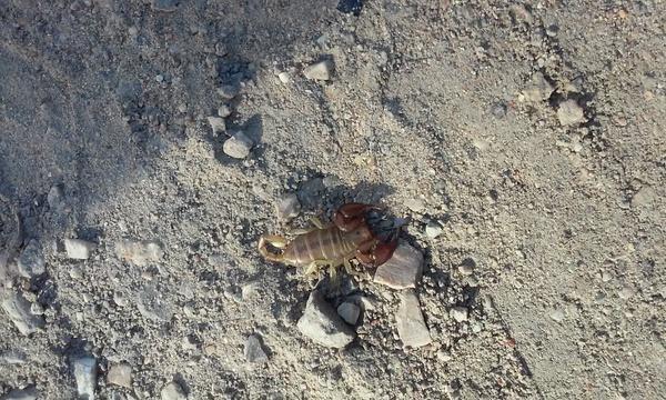Скорпион в парке. Сегодня гулял по городскому парку и увидел вот это чудо)) . Республика Крым, г. Феодосия