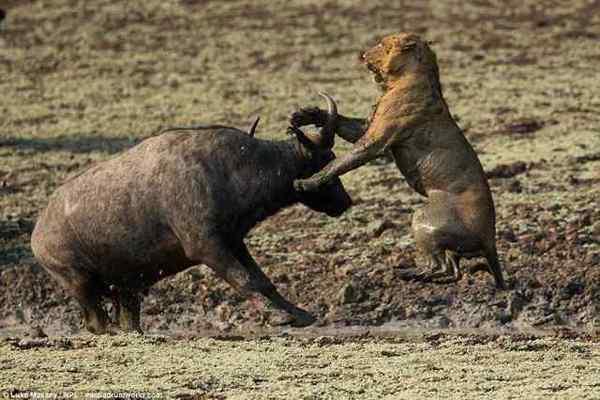 Борьба за жизнь в дикой природе. Дикая природа, Борьба за выживание, Лев, Буйвол, Длиннопост