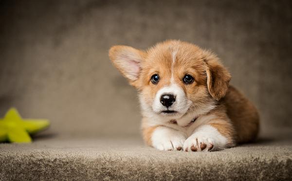 В ожидании Друга Собака, питомец, лучший друг, корги