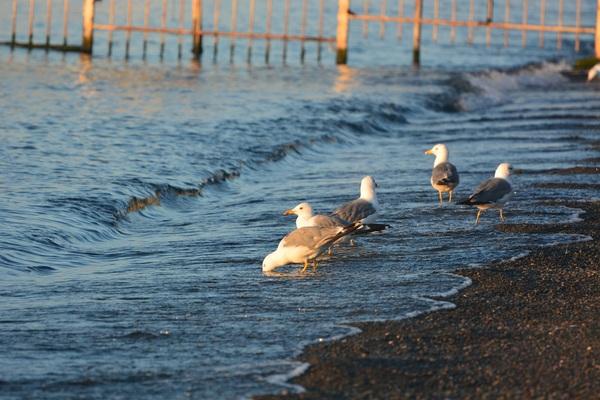 Чайки Фотография, Птицы, Чайки, Озеро, Длиннопост
