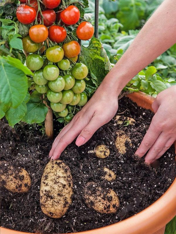 Два в одном селекция, Огород, помидор, картофель, растения, еда, корнеплод, сельское хозяйство