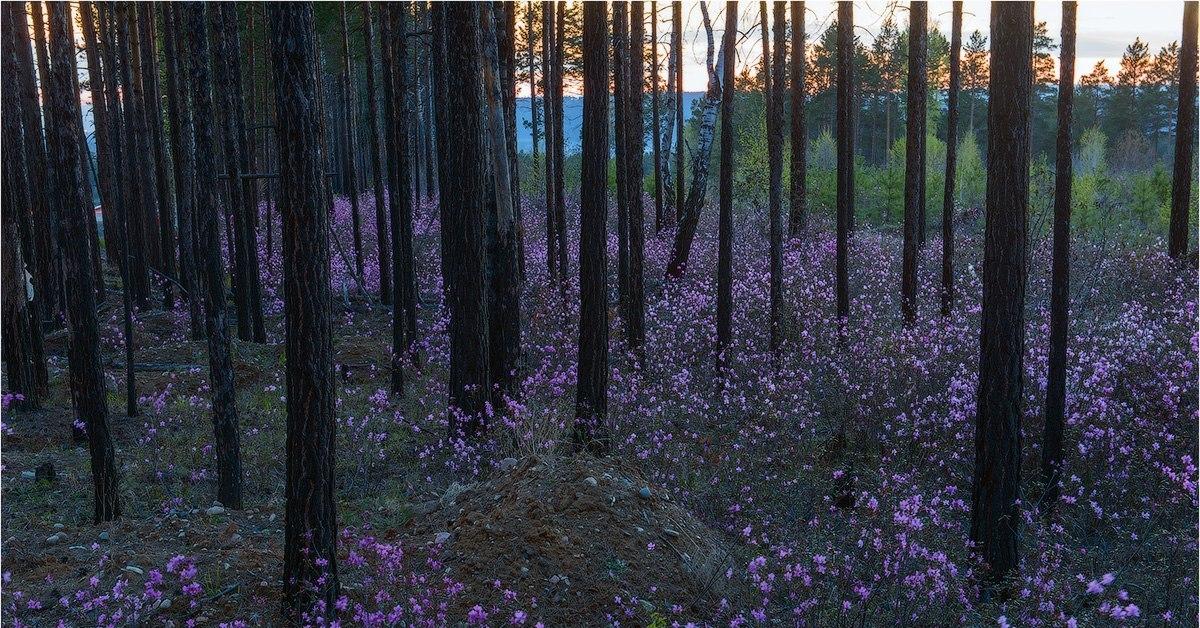 багульник вечер лес фото ежечасно появляются