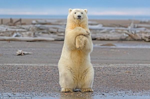 Хэй, Макарена! медведь, белый медведь, Аляска, танец, длиннопост